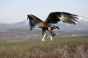 Golden Eagle (Aquila chrysaetos)ult female in flight, Cairngorms National Park, Scotland.